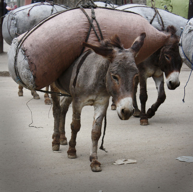 Image result for muslims strapping donkey with explosives