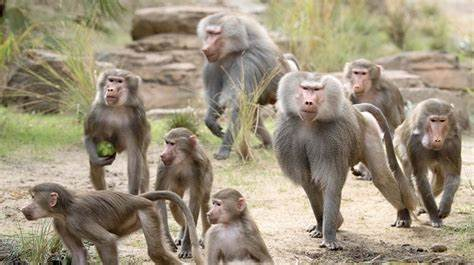Baboons several